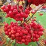 Плоды рябины - полезные свойства