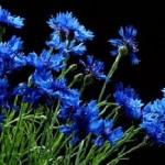 Цветки василька синего, легенда