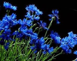 Цветки василька синего, легенда.