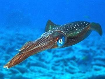 Корисна інформація про кальмарів