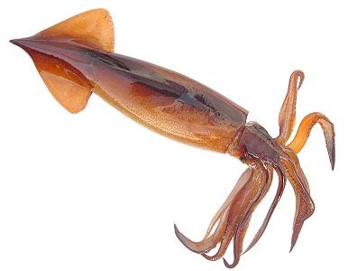 Інформація про кальмарів