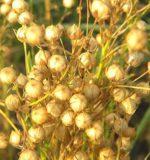 Насіння льону від кашлю