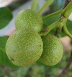 Перегородки волоських горіхів при мастопатії